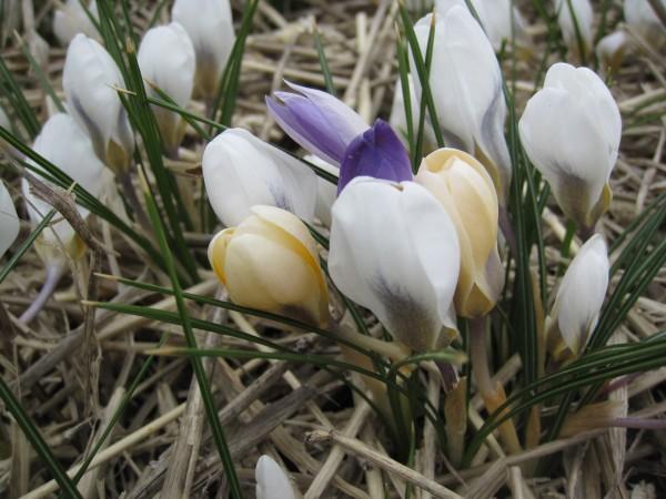 BIO Blumenzwiebeln Botanische Krokusse Mischung