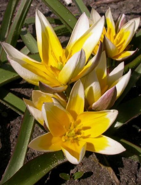 BIO Blumenzwiebeln Wildtulpe Tarda