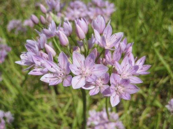 BIO Blumenzwiebel Allium unifolium
