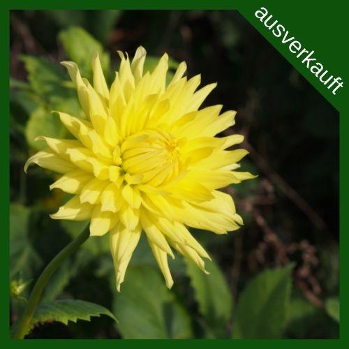 BIO Blumenzwiebeln Dahlie Kennemerland ausverkauft