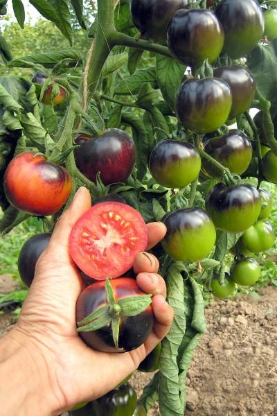 BIO Saatgut Salattomate Indigo Rose, schwarz