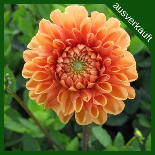 BIO Blumenzwiebeln Ball Dahlie Sylvia ausverkauft