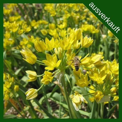 BIO Blumenzwiebeln Allium moly 'Jeannine' ausverkauft