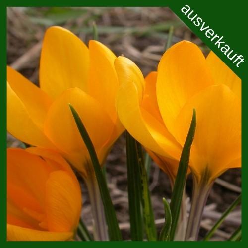 BIO Blumenzwiebeln Krokus Gelber Riese ausverkauft