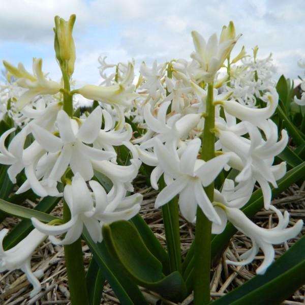 BIO Blumenzwiebeln White Pearl