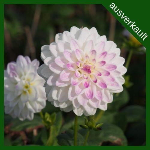 BIO Blumenzwiebeln Dahlie Wittem ausverkauft
