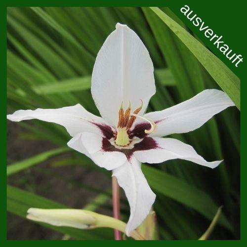 BIO Blumenzwiebeln Sterngladiole ausverkauft