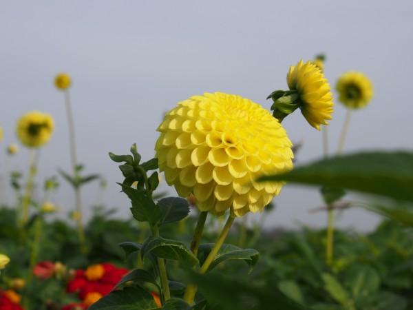 BIO Blumenzwiebeln Dahlie Golden Torch 1 Stück