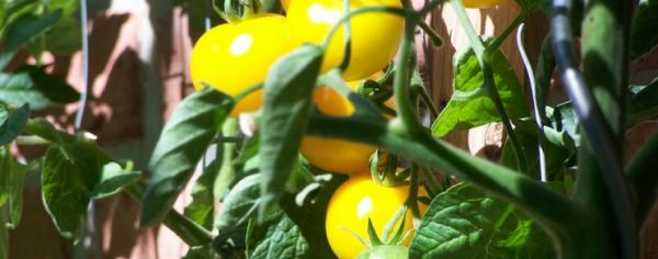 tomaten_kategorie_743x292