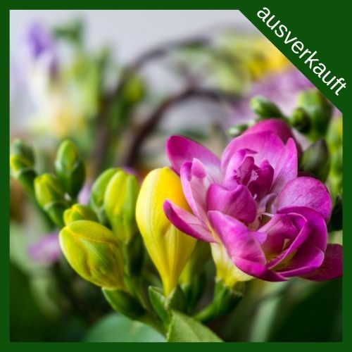 BIO Blumenzwiebeln Freesien Mischung ausverkauft