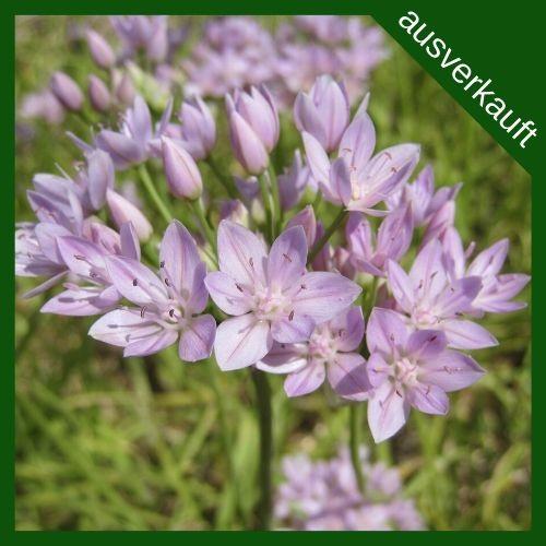 BIO Blumenzwiebel Allium unifolium ausverkauft