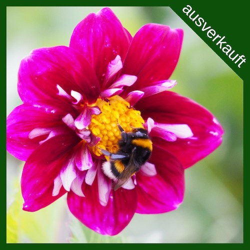 BIO Blumenzwiebeln Dahlie Impression Festivo ausverkauft