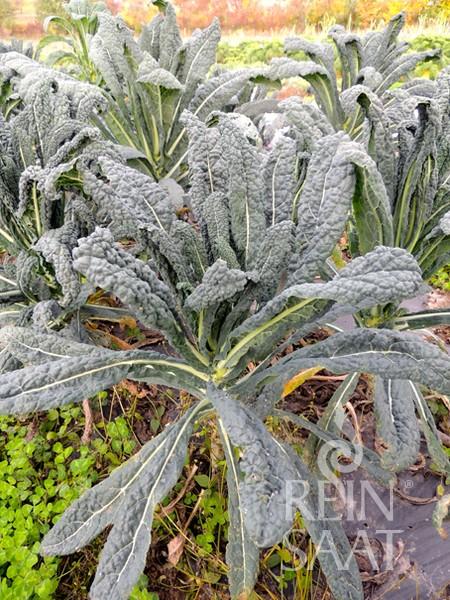 BIO Saatgut Palmkohl Nero di Toscana