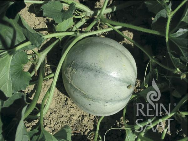 BIO Saatgut Melone Petit gris de Rennes