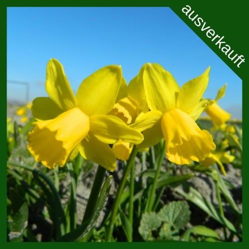 BIO Blumenzwiebeln Narzisse Tête á Tête ausverkauft