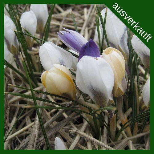 BIO Blumenzwiebeln Wildkrokusse Mischung ausverkauft