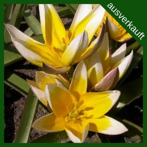 BIO Blumenzwiebeln Wildtulpe Tarda ausverkauft