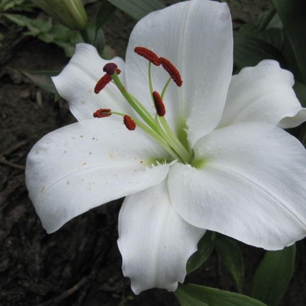 BIO Blumenzwiebeln Lilie Helvetia