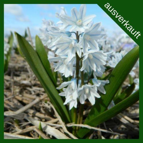 BIO Blumenzwiebeln Puschkinie ausverkauft