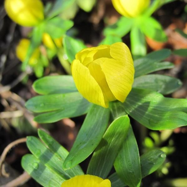 BIO Blumenzwiebeln Winterlinge