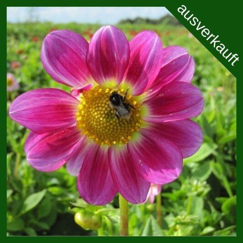 BIO Blumenzwiebeln Dahlie Sweetheart ausverkauft