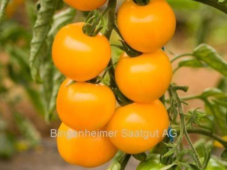 BIO Saatgut Tomate Goldene Königin