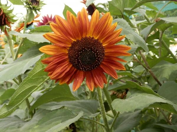 BIO Saatgut Rote Sonnenblume
