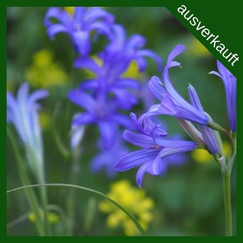 BIO Blumenzwiebeln Blaue Triteleie Corrina ausverkauft