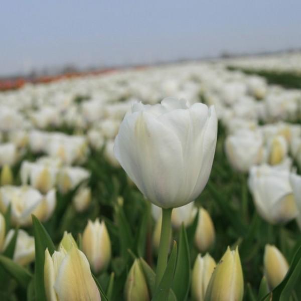 BIO Blumenzwiebeln Tulpe Inzell