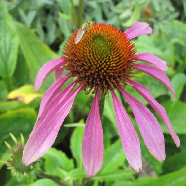 BIO Blumenzwiebeln Roter Sonnenhut