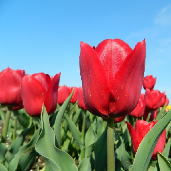 BIO Blumenzwiebeln Tulpe Pallada