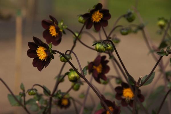 BIO Blumenzwiebeln Dahlie Mexican Star 1 Stück