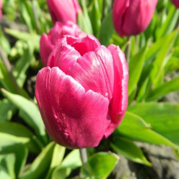 BIO Blumenzwiebeln Tulpe Purple Prince