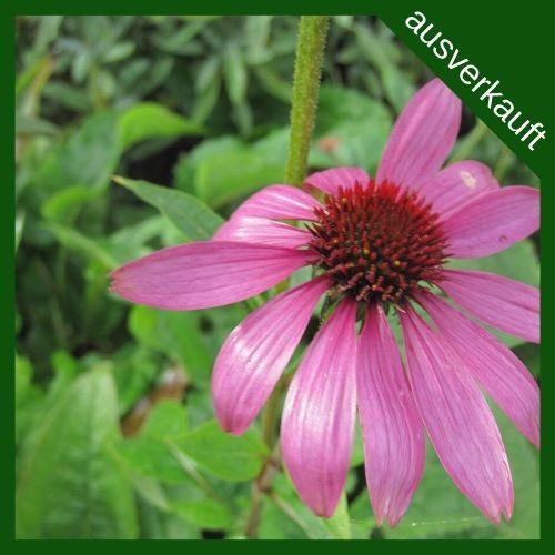 BIO Blumenzwiebeln Sonnenhut ausverkauft