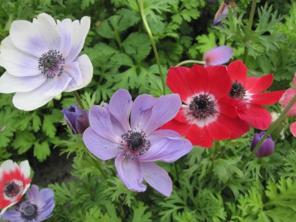 BIO Blumenzwiebeln Kronenanemone 'De Caen'