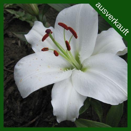 BIO Blumenzwiebeln Lilie Helvetia ausverkauft