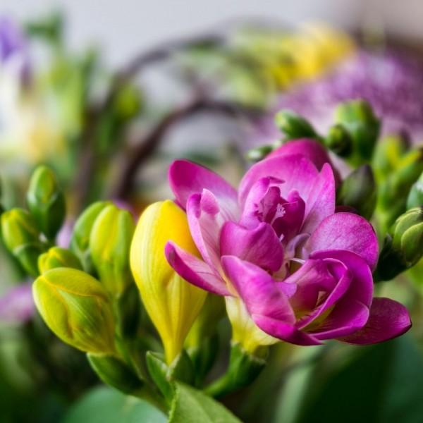 BIO Blumenzwiebeln Freesien Mischung
