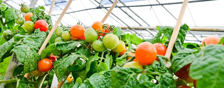 Tomatenhäuser aus Holz