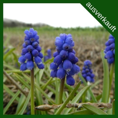 BIO Blumenzwiebeln Traubenhyazinthe ausverkauft