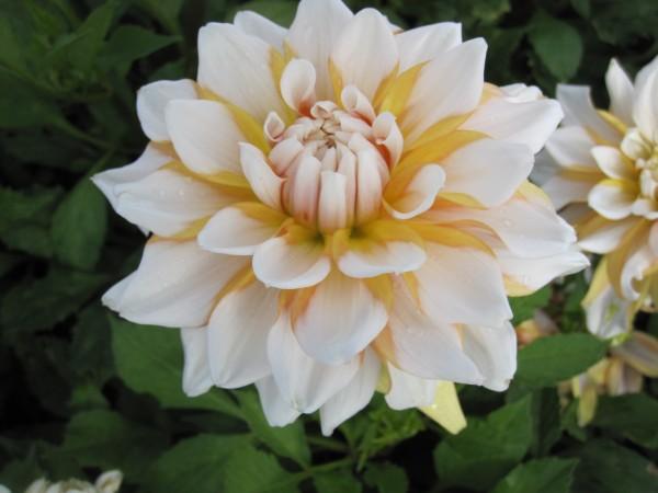BIO Blumenzwiebeln Dahlie Seattle
