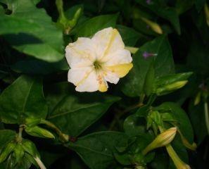 BIO Saatgut Wunderblume