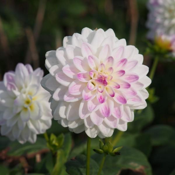 BIO Blumenzwiebeln Dahlie Wittem