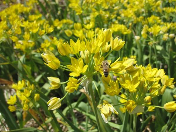 BIO Blumenzwiebeln Allium moly 'Jeannine' 10 Stück