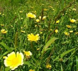 BIO Saatgut Speisechrysantheme